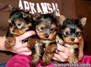 Regalo cachorro yorkshire terrier - Barcelona