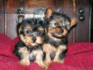 Regalo cachorros toy yorkshire terrier mini - Barcelona