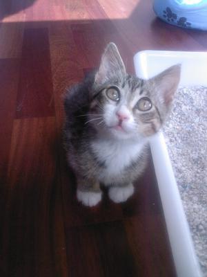 Regalo gatito de dos meses y medio - Valencia