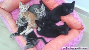 Regalo gatitos negros. Se dan en adopción