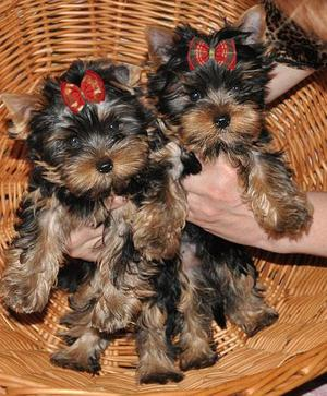 Regalo precioso cachorros de yorkshire terrier toy - Madrid