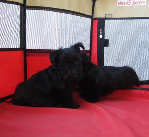 Scottish terrier preciosos cachorros con pedigri. - Madrid