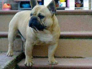 Se vende Cachorra de Bulldog Francés - Cádiz