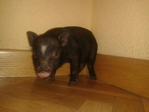 Se vende cerdo vietnamita con un mes - Madrid