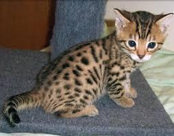 Serval y gatos de Bengala disponibles para una