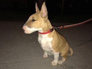Vendo Bull terrier marrón/blanca - Zaragoza