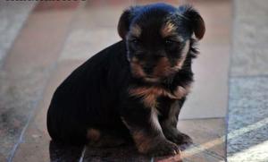Vendo Cachorros Yorkshire Terrier 1 y medio - Murcia