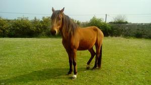 Vendo caballo capado, muy noble y con microchip. - Asturias