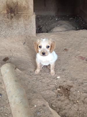 Vendo cachorro (breton con braco) - Cáceres