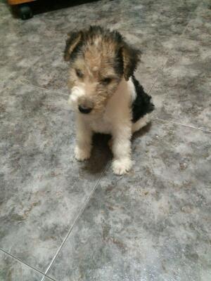 Vendo cachorro fox terrier - Madrid