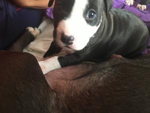 Vendo cachorros American Estanford - Castellón