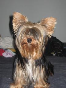 Vendo preciosos Yorkshire Terrier Toy - Madrid