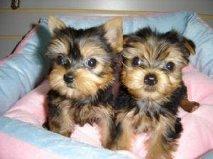 cachorros de Yorkshire terrier de pura raza - Madrid