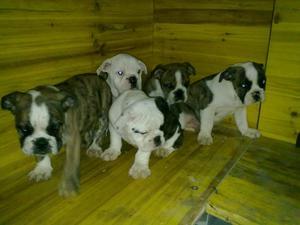 cachorros de bulldog ingles - Madrid