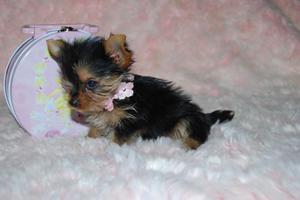 cachorros de yorkshire mini - Badajoz