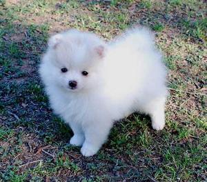 cachorros pomeranian blanco - Madrid
