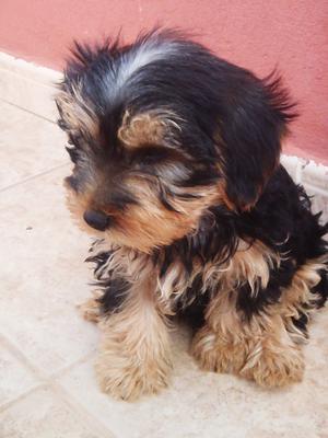 excelente camada de yorkshire terrier - Las Palmas