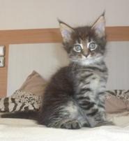 gatitos preciosos de pura raza Maine Coon - Barcelona