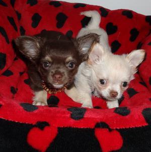 lindos cachorros chihuahua - Alicante