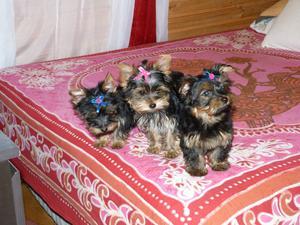 machos y hembras miniaturas de Yorkshire Terrier - Madrid