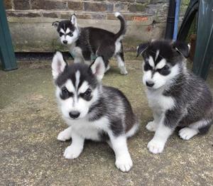 raza pura cachorros Siberian Husky. - Madrid