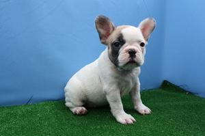 regalo cachorros de bulldog frances - Lugo