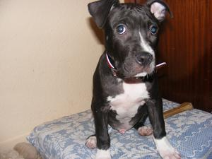 se vende cachorro de pitbull blue - Madrid