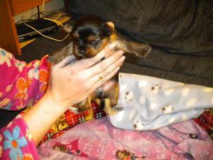se vende cachorro macho de yorkshire - Castellón