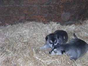 vendo cachorros huskies - León