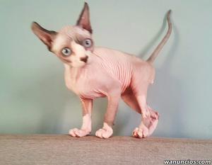 Camada de gatitos Sphynx machos y hembras adopcion - Álava