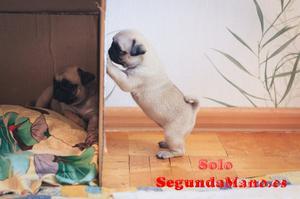 Macho y Hembra Cachorros de Carlino de Pug