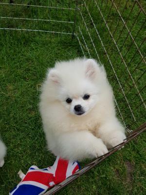 Adorable cachorro Pomeranian para adopción