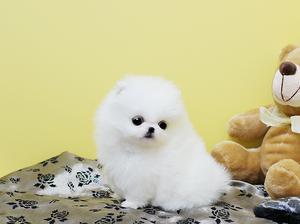 Cachorros Pomerania, 12 semanas de edad