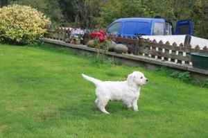 Cachorros de golden retriever muy bonitos y presiosos