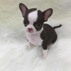 Cachorros de pura raza chihuahua disponibles con papeles de