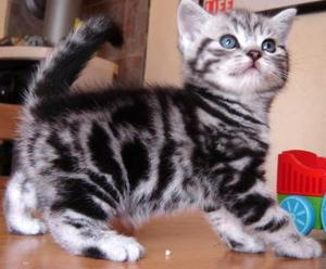 Gatitos british shorthair