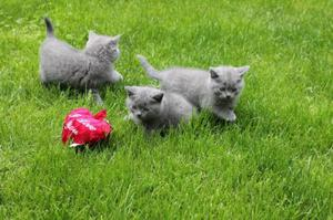 Gatitos british shorthair de 2 mes y medio y