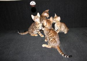 Gatitos muy bonitos estilo bengala