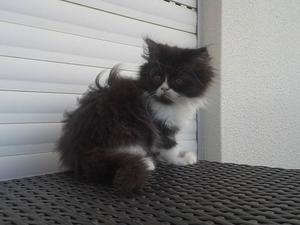Gatitos persas - 3 embras