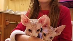 Gatitos sphynx para buenas casas