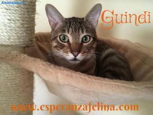 Guindi, Precioso Atigrado En AdopcióN (ÁLava, EspañA F.