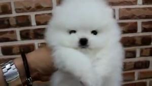 Pomeranian para montas