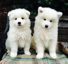 Regalo cachorros samoyed disponibles