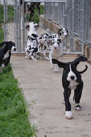 Regalo gran danes cachorros macho y hembra para adopcion