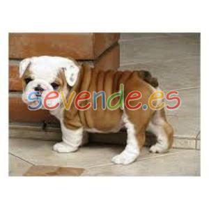 Adorable cachorros pomerania excepcionales