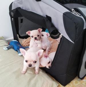 Cachorros Chihuahua mini toy disponibles