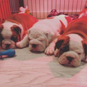 Cachorros de bulldog inglés súper adorables para adopción