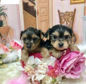 Dos cachorros yorkshier terrier de taza de té necesitan una