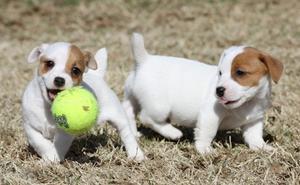 Se venden dos hembras de Jack Russell Terrier