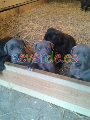 Cachorros de gran danés para la adopción